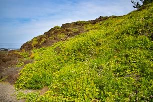 海浜植物の群落の写真素材 [FYI04631231]