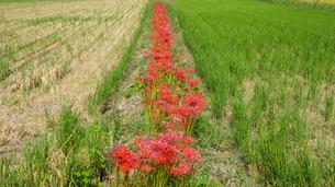 彼岸花の一本道と収穫後の水田の写真素材 [FYI04631340]