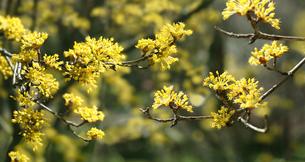 サンシュユの花の写真素材 [FYI04631346]