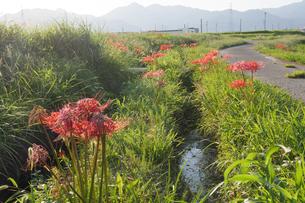 曲がりくねった小道と畔に咲く彼岸花の写真素材 [FYI04631414]