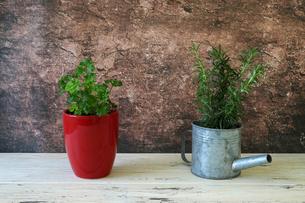 赤い植木鉢に植えたパセリとジョウロに植えたローズマリーの写真素材 [FYI04631426]