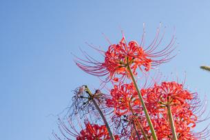 彼岸花のクローズアップと秋の空のコピースペースの写真素材 [FYI04631452]