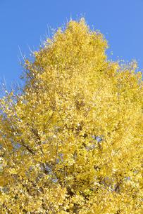 イチョウの黄葉の写真素材 [FYI04631626]