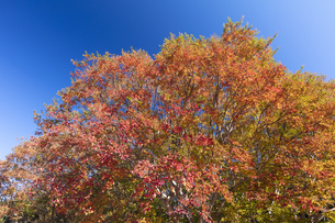 シマサルスベリの紅葉の写真素材 [FYI04631632]