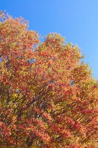 シマサルスベリの紅葉の写真素材 [FYI04631635]