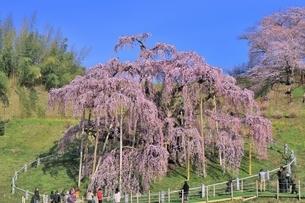 三春の滝桜の写真素材 [FYI04631682]