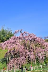 三春の滝桜の写真素材 [FYI04631683]