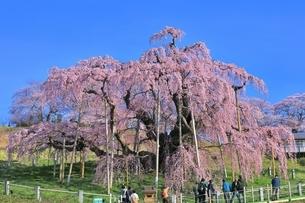 三春の滝桜の写真素材 [FYI04631685]