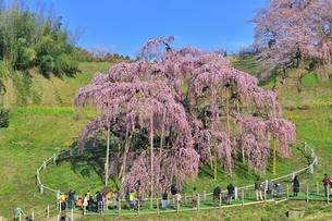 三春の滝桜の写真素材 [FYI04631687]