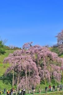 三春の滝桜の写真素材 [FYI04631688]