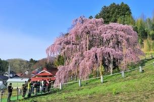 三春の滝桜の写真素材 [FYI04631690]