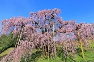 三春の滝桜の写真素材 [FYI04631692]