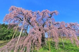 三春の滝桜の写真素材 [FYI04631693]