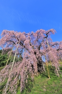 三春の滝桜の写真素材 [FYI04631694]