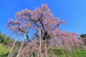 三春の滝桜の写真素材 [FYI04631695]
