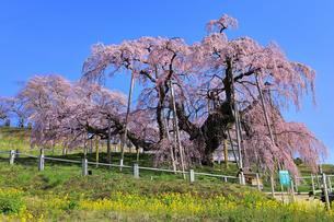 三春の滝桜の写真素材 [FYI04631696]
