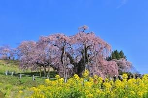 三春の滝桜の写真素材 [FYI04631697]