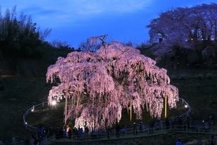 三春の滝桜のライトアップの写真素材 [FYI04631703]