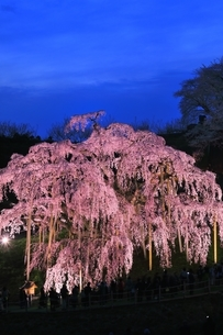 三春の滝桜のライトアップの写真素材 [FYI04631706]