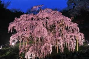 三春の滝桜のライトアップの写真素材 [FYI04631707]