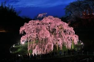 三春の滝桜のライトアップの写真素材 [FYI04631708]