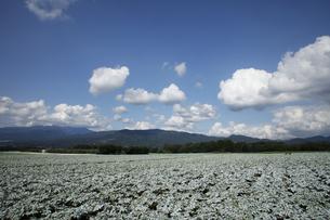 群馬県 赤城高原のこんにゃく畑 コンニャク栽培の写真素材 [FYI04631795]