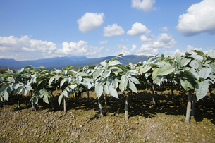 群馬県 赤城高原のこんにゃく畑 コンニャク栽培の写真素材 [FYI04631796]