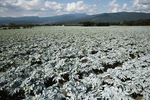 群馬県 赤城高原のこんにゃく畑 コンニャク栽培の写真素材 [FYI04631798]