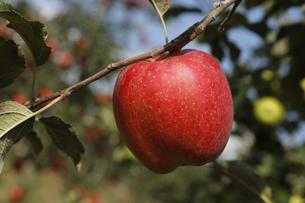 群馬県 赤城高原のりんご畑 リンゴ栽培 しなのレッド シナノレッド フルーツ くだもの 果物の写真素材 [FYI04631801]
