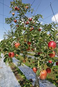 群馬県 赤城高原のりんご畑 リンゴ栽培 しなのレッド シナノレッド フルーツ くだもの 果物の写真素材 [FYI04631803]