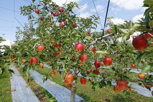 群馬県 赤城高原のりんご畑 リンゴ栽培 しなのレッド シナノレッド フルーツ くだもの 果物の写真素材 [FYI04631804]