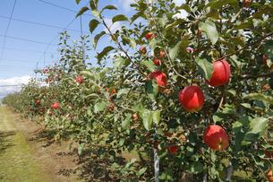 群馬県 赤城高原のりんご畑 リンゴ栽培 しなのレッド シナノレッド フルーツ くだもの 果物の写真素材 [FYI04631805]