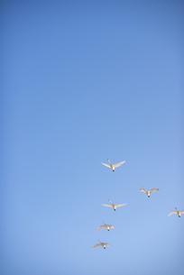 空を飛ぶ白鳥の群れの写真素材 [FYI04632261]