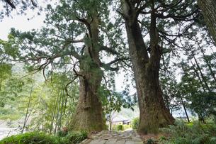 熊野古道 夫婦杉の写真素材 [FYI04632425]