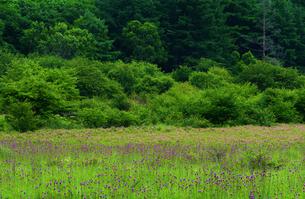 【 奥日光 】小田代原(小田代ヶ原)の風景。ノアザミ、ホザキシモツケの花咲く頃の写真素材 [FYI04632430]