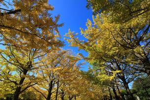 葉が黄色く紅葉した銀杏の並木道の写真素材 [FYI04632491]