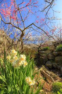 茨城県 筑波山梅林の水仙の写真素材 [FYI04632780]