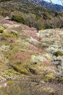 茨城県 筑波山梅林の写真素材 [FYI04632785]