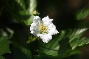 キイチゴ・ヒメバライチゴの花の写真素材 [FYI04632932]
