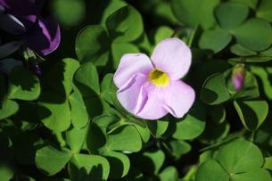 オキザリス・薄紫色の花の写真素材 [FYI04632951]