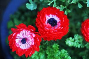 アネモネの赤い花の写真素材 [FYI04632956]