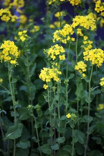 菜の花の開花の写真素材 [FYI04632959]