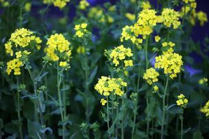 菜の花の開花の写真素材 [FYI04632960]