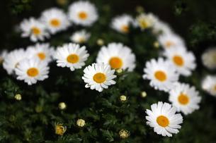 クリサンセマムの白い花の写真素材 [FYI04632965]