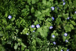 野草の青い花・オオイヌノフグリの写真素材 [FYI04632970]