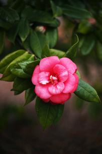 椿・紅色で八重咲きの花の写真素材 [FYI04632971]
