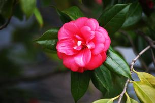 椿・紅色で八重咲きの花の写真素材 [FYI04632972]