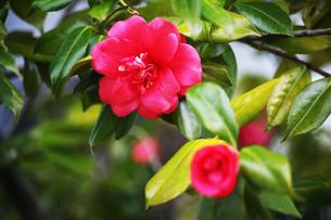 椿・紅色で八重咲きの花の写真素材 [FYI04632973]