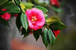 椿・紅色で八重咲きの花の写真素材 [FYI04632974]