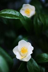 椿・白い一重咲きの花の写真素材 [FYI04632975]
